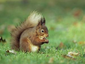 Red Squirrel (Sciurus Vulgaris), Lowther, Near Penrith, Cumbria, England, United Kingdom, Europe by Ann & Steve Toon