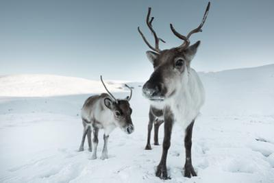 Reindeer Female