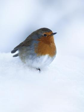 Robin (Erithacus Rubecula), in Snow, United Kingdom, Europe by Ann & Steve Toon