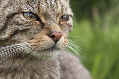 Scottish Wildcat (Felis Sylvestris), Captive, UK, June