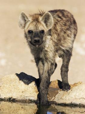 Spotted Hyena, Crocuta Crocuta, Kgalagadi Transfrontier Park, South Africa, Africa by Ann & Steve Toon