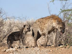Spotted Hyena With Cub, South Africa, Africa by Ann & Steve Toon