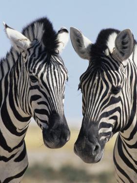 Two Burchell's Zebra, Equus Burchelli, Etosha National Park, Namibia, Africa by Ann & Steve Toon
