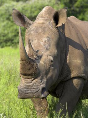 White Rhino, Ceratotherium Simum, in Pilanesberg Game Reseeve, North West Province, South Africa by Ann & Steve Toon