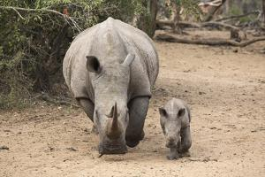 White Rhino (Ceratotherium Simum) with Calf, Mkhuze Game Reserve, Kwazulu-Natal by Ann & Steve Toon