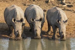 White Rhinos (Ceratotherium Simum) Drinking, Mkhuze Game Reserve, Kwazulu-Natal by Ann & Steve Toon