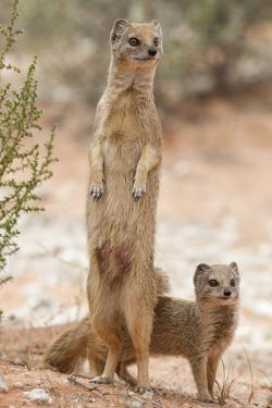 Yellow Mongoose (Cynictis Penicillata) Standing On Hind Legs With Young by Ann & Steve Toon