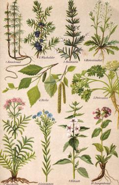 Healing Plants 1904 Pl.2 by Anna Fischer-Duckelmann