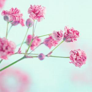 Closeup of Pink Baby's Breath Flowers by Anna-Mari West
