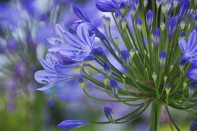 Agapanthus close-up, Sausalito, Marin County, California by Anna Miller