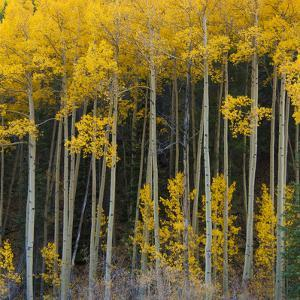 Autumn Aspens Along Cottonwood Pass, Rocky Mountains, Colorado,USA by Anna Miller
