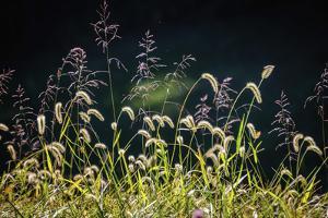 Backlit grass seedhead by Anna Miller