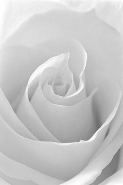Black and White Rose Abstract by Anna Miller