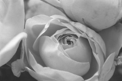 Black and White Rose Detail by Anna Miller