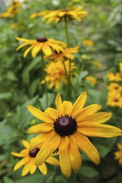 Black-eyed Susan flowers by Anna Miller