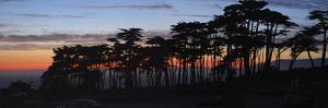 Coastal Cypress at Dusk, San Francisco, California by Anna Miller
