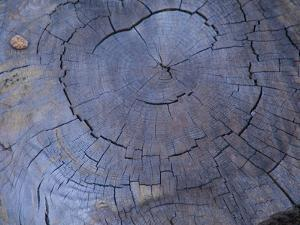 Cross Section of Fallen Tree in Colorado,USA by Anna Miller
