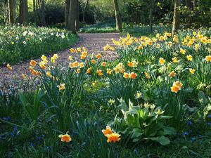 Daffodil Along Path in Woodland Spring Garden by Anna Miller