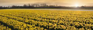 Daffodil Flower Fields in Famous Lisse, Holland by Anna Miller