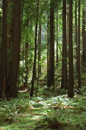 Fern in Muir Woods, Marin Headlands, California by Anna Miller