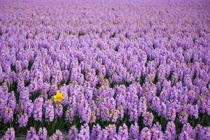 Hyacinth Flower Fields in Famous Lisse, Holland by Anna Miller