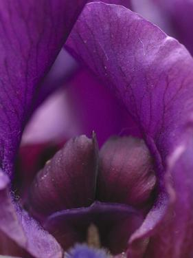 Iris Abstract by Anna Miller