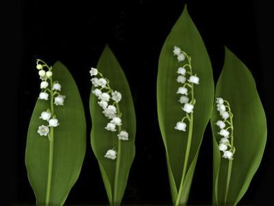 Lily of the Valley Study by Anna Miller