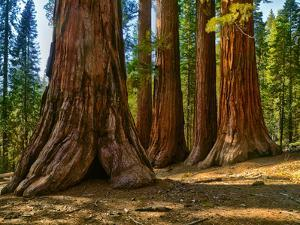 Mariposa Grove, Bachelor and Three Sisters, Yosemite by Anna Miller