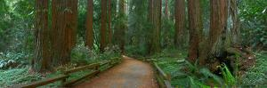 Old Growth Coast Redwood, Muir Woods National Monument, San Francisco Bay Area by Anna Miller