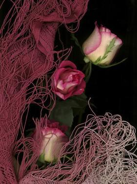 Ombre Tea Rose on Black Background by Anna Miller