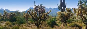 Panorama of Arizona's Desert Cactus. by Anna Miller