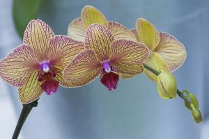 Peach Orchid Blooms by Anna Miller