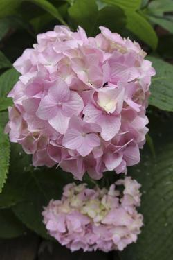 Pink Hydrangea Bloom by Anna Miller