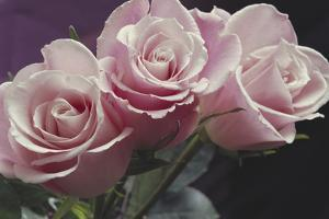 Pink Roses by Anna Miller