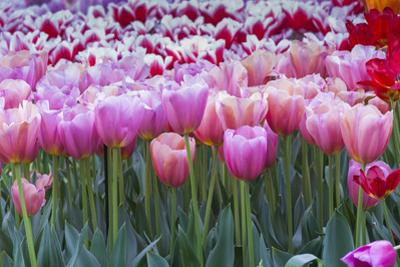 Pink tulips by Anna Miller