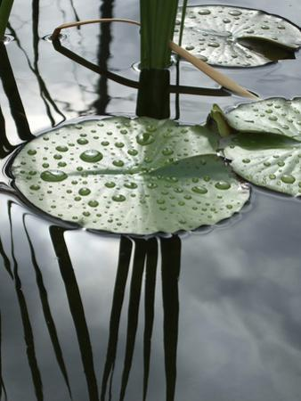 Pond with Water Lily by Anna Miller
