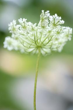 Queen Anne's lace flower by Anna Miller