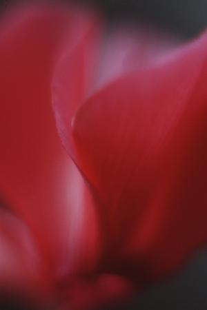 Red Cyclamen Abstract by Anna Miller