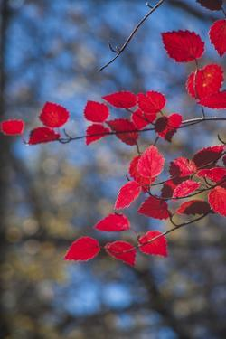 Red leaves on tree branch against blue sky by Anna Miller