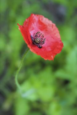 Red poppy flower by Anna Miller