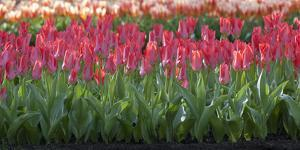 Red Tulip Flower Bed in Holland by Anna Miller