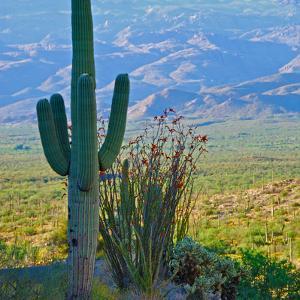 Saguaro Cactus in Saguaro National Park, Arizona,USA by Anna Miller