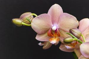 Salmon Orchid Blooms by Anna Miller