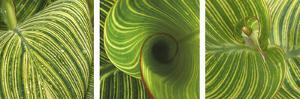 Striped Canna Leaf Triptych by Anna Miller