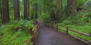 USA, California. Path among redwoods in Muir Woods National Monument. by Anna Miller