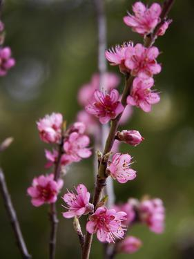 USA, California. Pink blooms on a tree near Chetch Hetchy valley. by Anna Miller