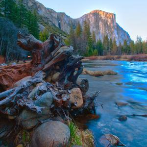 USA, California. Tree roots in Merced river in the Yosemite Valley. by Anna Miller