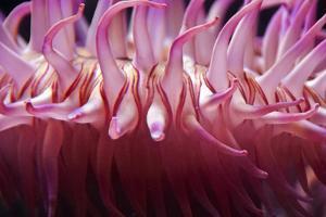 USA, Massachusetts. Close up of anemone tentacles, Boston aquarium. by Anna Miller