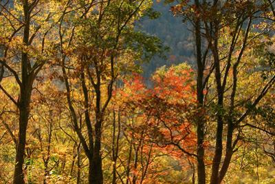 USA, Tennessee. Fall foliage in the Smoky Mountains. by Anna Miller