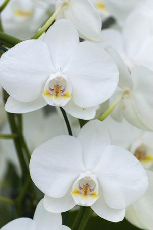 White orchid blooms by Anna Miller